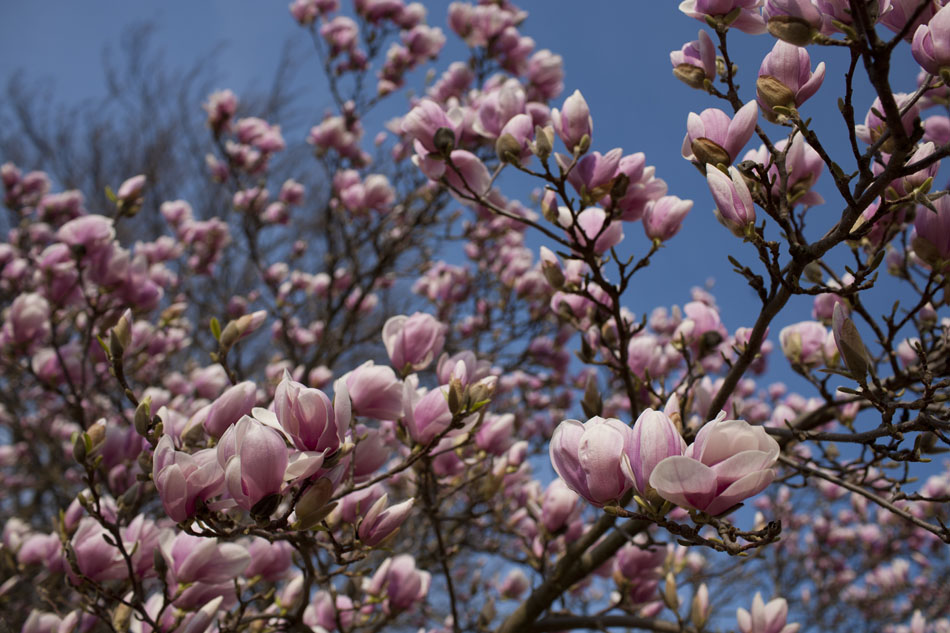 Magnolias In Bloom At St Marys College James Brosher Photography
