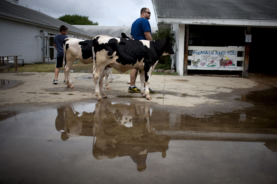 A man holds onto a couple of calves near a rain puddle during the Elkhart County 4-H Fair on Tuesday, July 24, 2012, in Goshen, Ind. A morning rain provided relief from temperatures in the 90s earlier in the week. (James Brosher/South Bend Tribune)