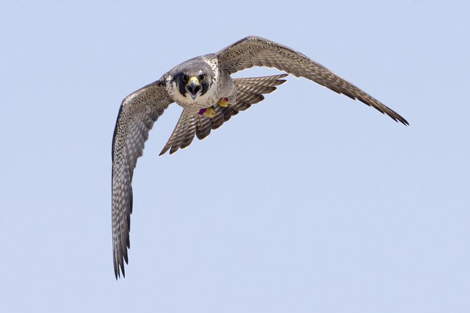 Peregrine Falcon Chick Banding