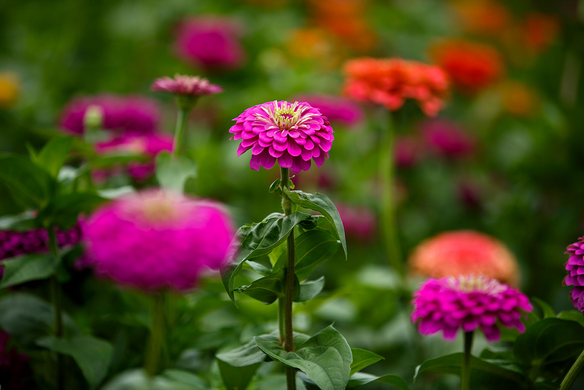 Zinnias grow at the IU Campus Farm on Friday, Sept. 7, 2018. The flowers help increase pollination in nearby vegetables by attracting bees. (James Brosher/IU Communications)