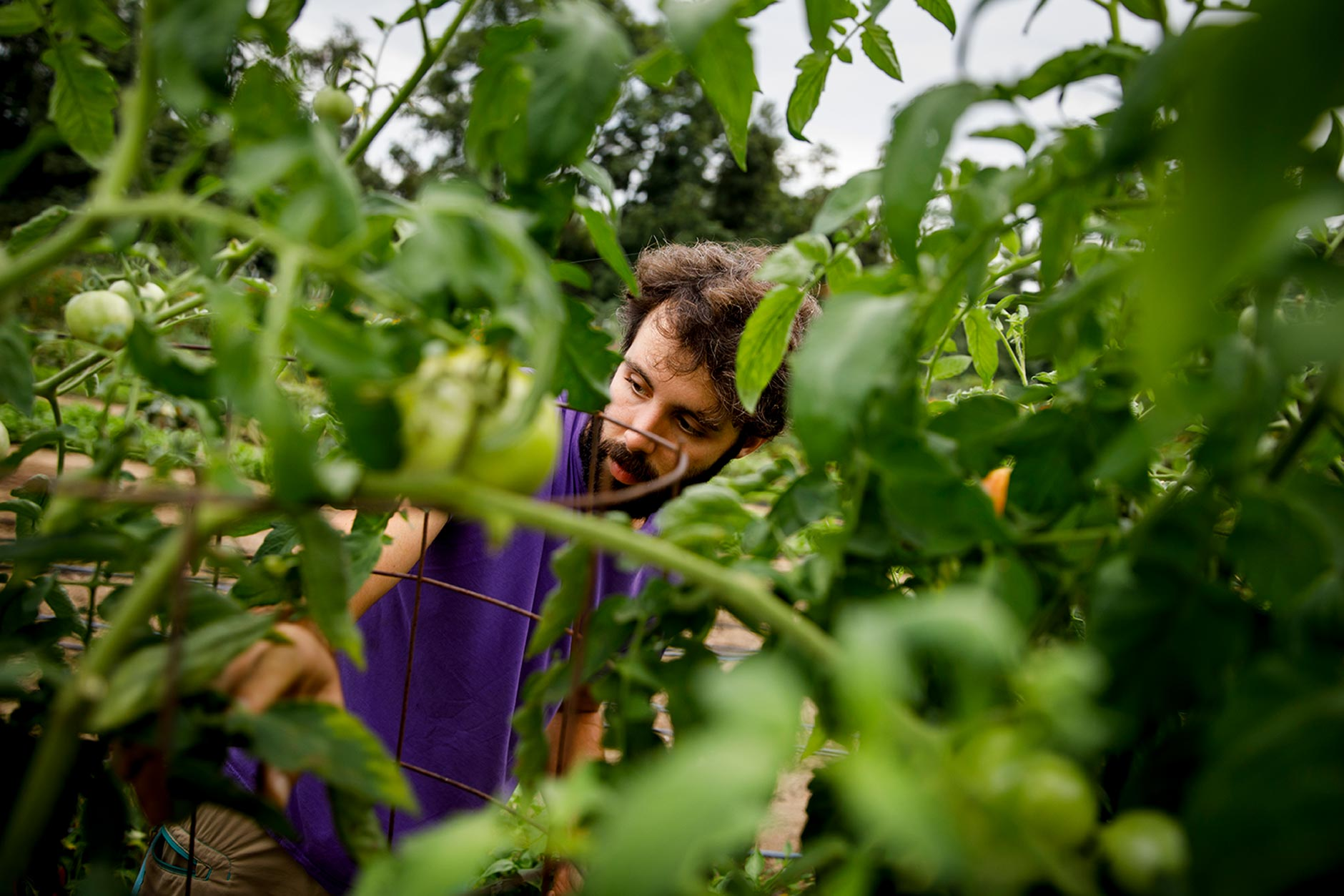 Indiana University Campus Farm manager Erin Carman-Sweeney picks tomatoes at the farm on Friday, Sept. 7, 2018. Established in 2017, the farm includes 10 agricultural acres, a late 1800's farmhouse and four historic barns at the Hinkle-Garton Farmstead just a few blocks from the IU Bloomington campus. (James Brosher/IU Communications)