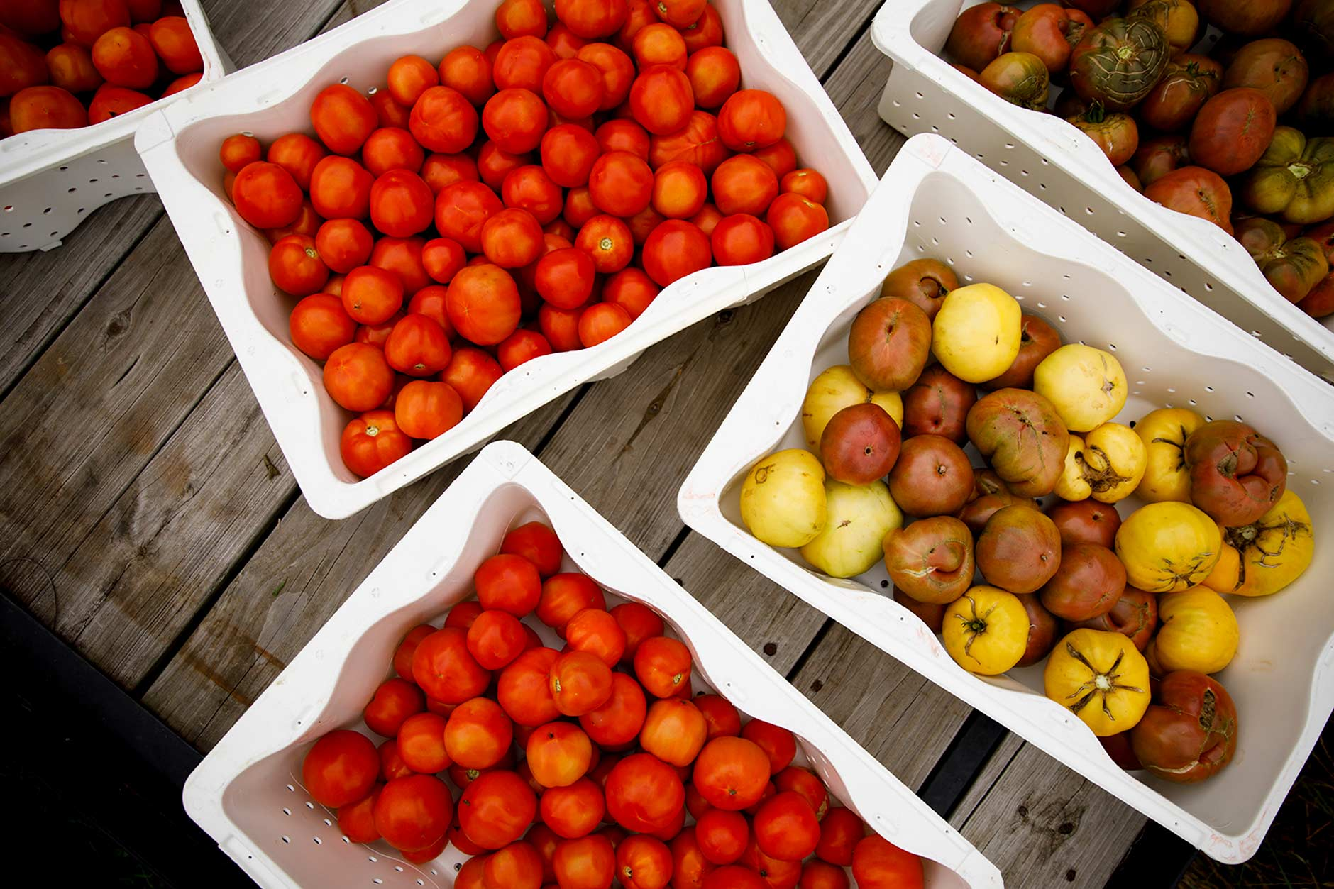 A selection of freshly-harvested new girl (red) and heirloom (yellow, brown, green) tomatoes are sorted into bins at the IU Campus Farm on Friday, Sept. 7, 2018. (James Brosher/IU Communications)