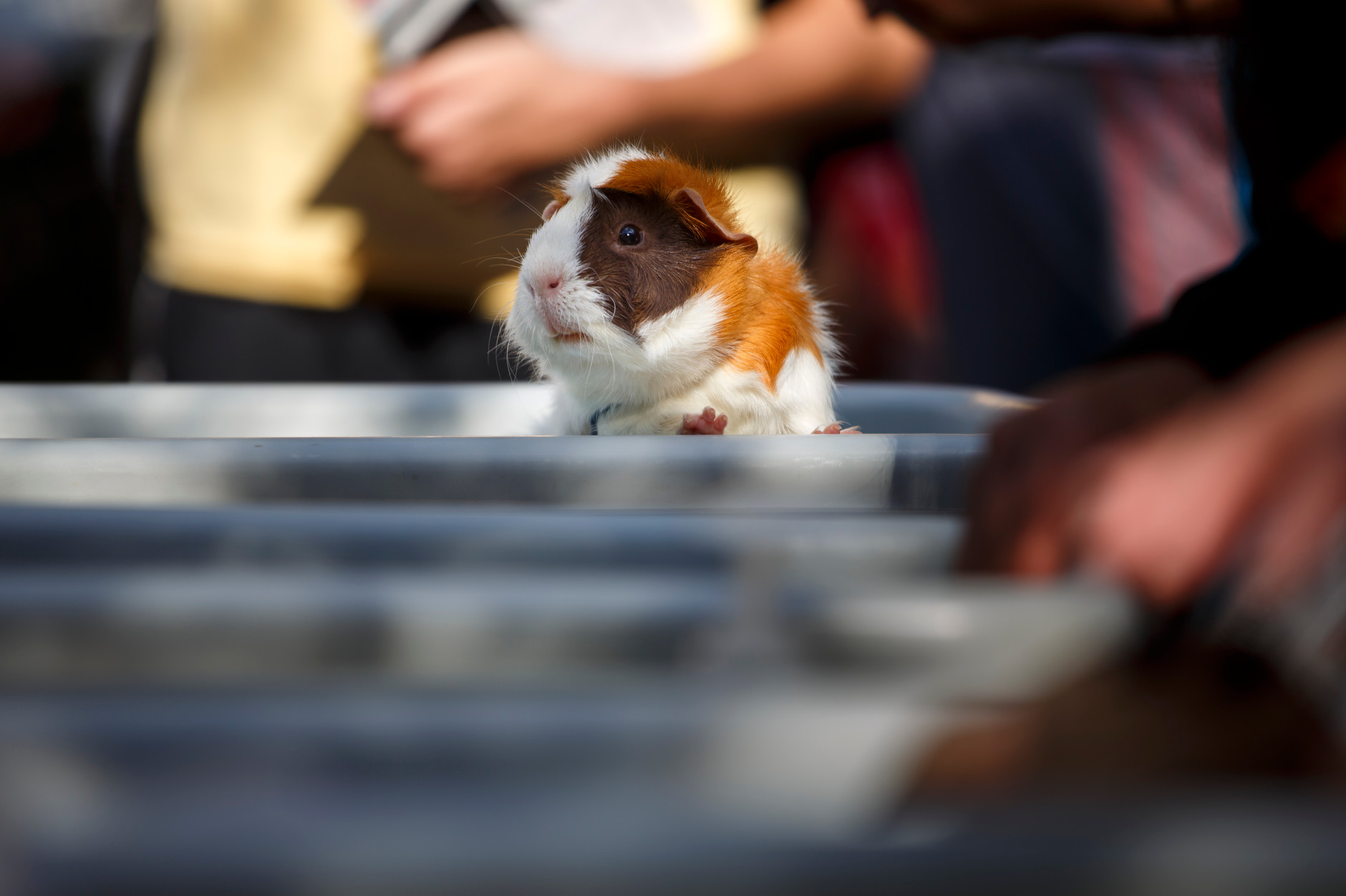 Tono, a guinea pig from Zoo'Opolis Exotic Petting Zoo, peaks out of his tray, during the First Thursdays Festival on the Arts Plaza at IU Bloomington on Thursday, Sept. 5, 2019. (James Brosher/Indiana University)