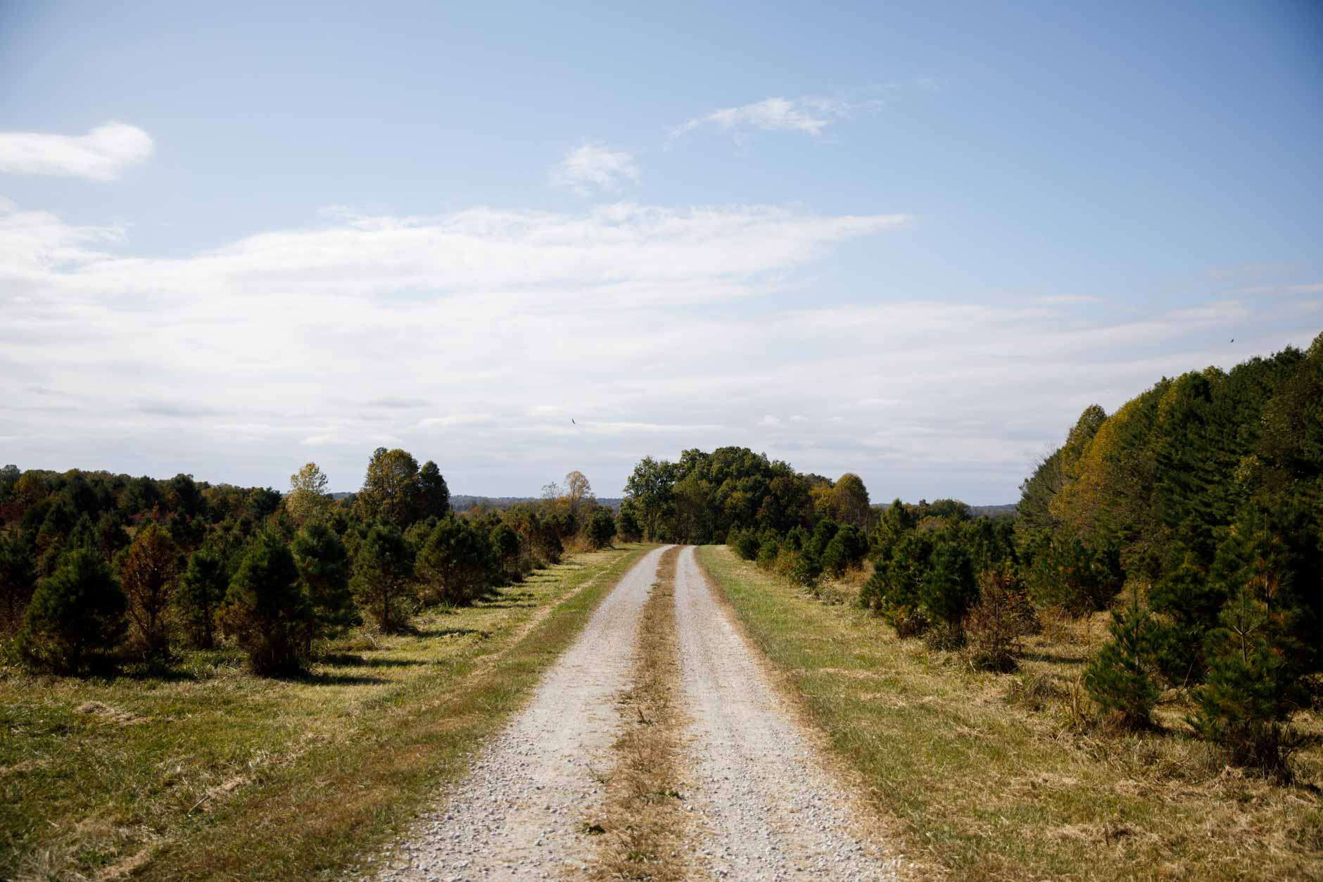 Christmas trees are pictured in a field at Twin H Tree Farms near Bloomington on Tuesday, Oct. 15, 2019. An Indiana University study highlighted a 40 percent decrease in Indiana Christmas tree farms since 2002. The study found that the decline is likely to continue. (James Brosher/Indiana University)